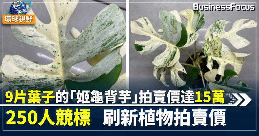 【天價植物】紐西蘭罕見室內植物以15萬出售    罕見的白色斑葉引250人競標